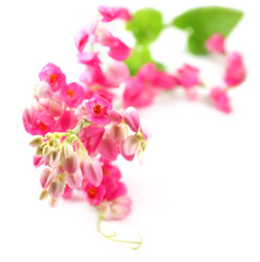 Pink coral vine over white background