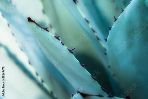 Staande foto Cactus Sharp pointed agave plant leaves bunched together.