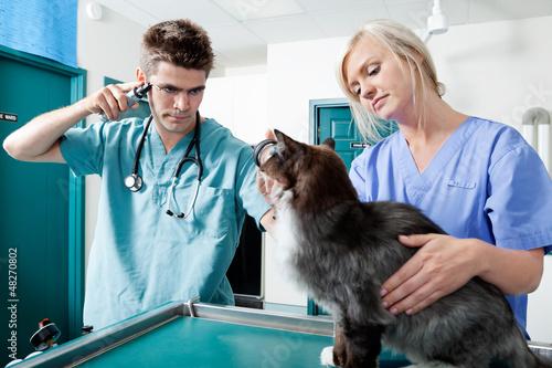 Young Veterinarian Doctors Examining A Cat