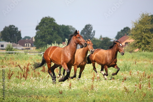 Horse herd running free at the field