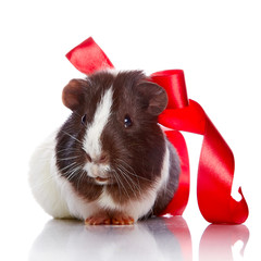 Guinea pig with a tape and a sphere