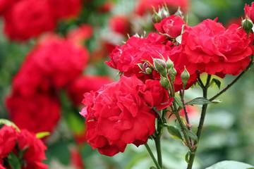 roses spring scene