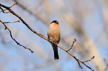 日本の野鳥 ウソ