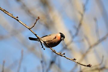 冬の鳥 ウソ