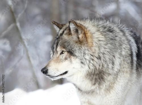 loup gris de profil
