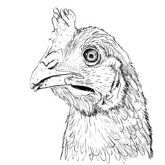 Outline sketch illustration of chicken head