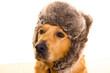 Goden retriever dog with funny winter fur cap