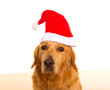 Golden retriever dog with chirstmas santa red hat