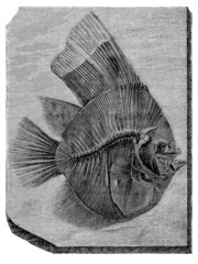 Prehistory - Fossil Fish (Platax Altissimus)