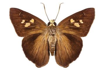 Hesperiidae small butterfly genus