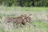Cheetahs with a kill