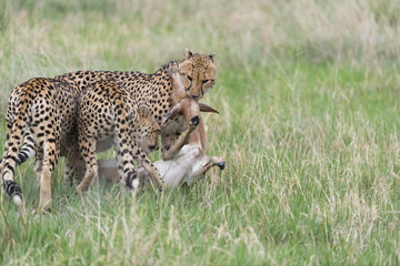 cheetah making a kill
