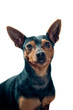 Pinscher dog portrait