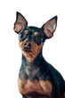 Mini Pinscher dog