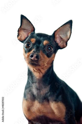 Mini Pinscher dog