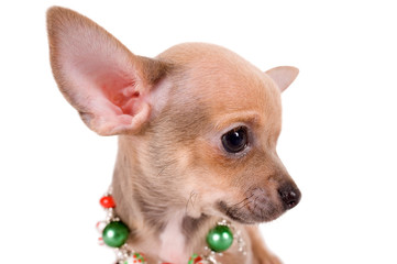 portrait chihuahua puppy on white background