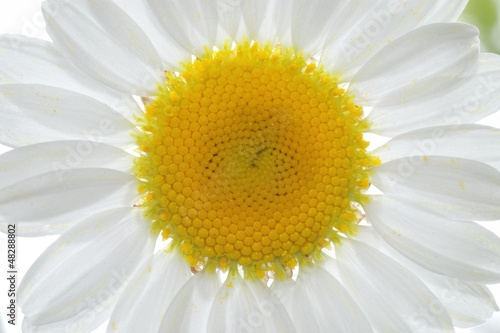 Daisy Close Up Petals Backlighted