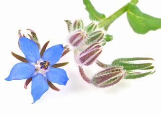 Borage flower isolated