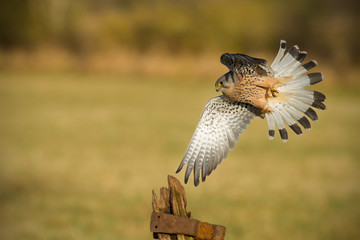 Male kestrel flying past old textured gate post