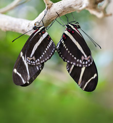 Mating Zebra Longwing Butterflies