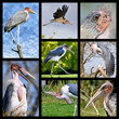 Eight mosaic photos of marabou storks (Leptoptilos crumeniferus)