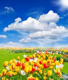 Fototapety tulip flowers field. spring landscape