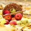 basket of fresh ripe apples in garden on autumn leaves