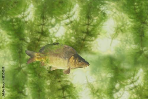 carp on white background