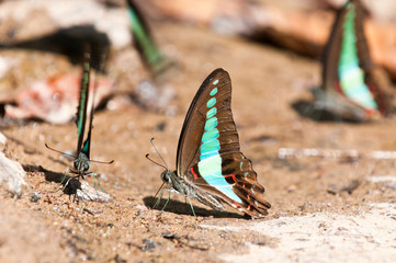 common bluebottle butterfly close up