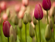 canvas print picture Colorful tulips