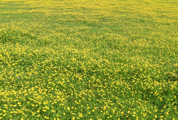 Spring meadow full with yellow buttercups