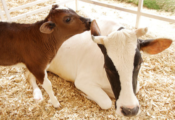 Closeup of a beautiful Holstein cow with her calf