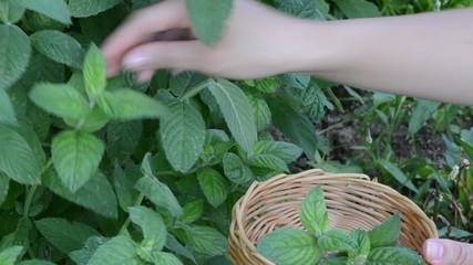 woman hands gather pick mint leaf. alternative medicine herbs