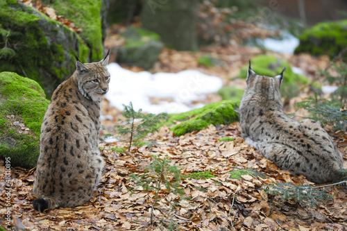 Staande foto Lynx Luchs Paar