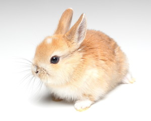 young carroty rabbit isolated on white