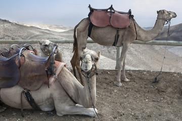Camel, Judean Desert
