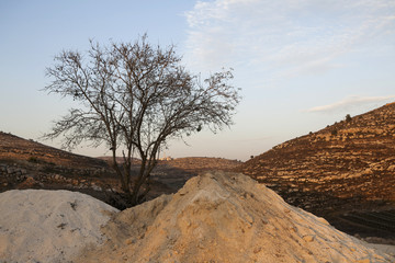 Dry Tree in Sand Hills of Samaria, Israel