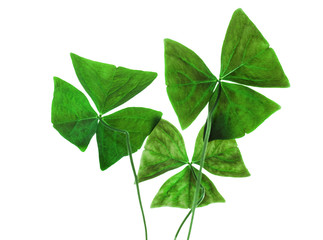 Original sharp decorative oxalis leaves isolated on white