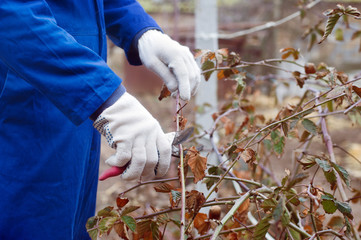Pruning blackberry bush