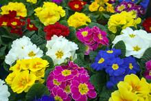 Pierwiosnki (ogród primrose hybrydy) kwiaty.