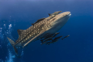 Whaleshark moving underwater