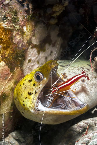 Moray Eeel and cleaner shrimp