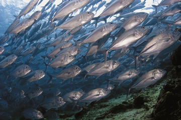 Schooling Big Eye Jacks underwater in Malaysia