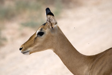 Female Gazelle Thompson