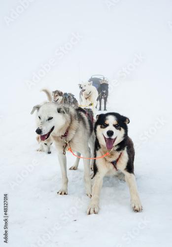 sleigh dogs