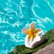 Galet, frangipanier, fond carré piscine