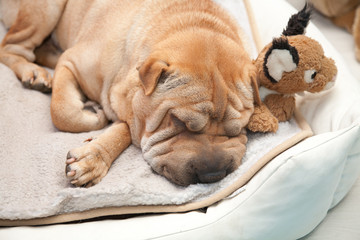sleeping sharpei dog