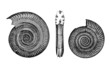 Prehistory : 2 Ammonits - Fossils Jurassic era