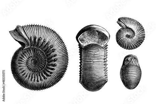 Leinwandbild Motiv Prehistory : 2 Ammonits  (Jurassic)