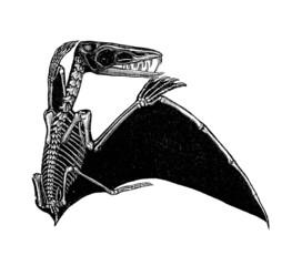 Prehistory : Pterodactyl (Jurassic) - Anatomy